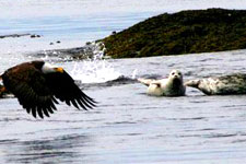A Bald Eagle's wings nearly touching the water as he flies past some seals.