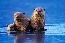A family of otters.