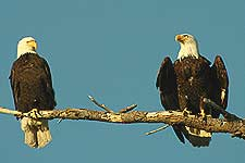 Two bald eagles take in the afternoon sun.  Cattle Point, San Juan Island.