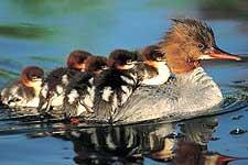 Wood Ducks on Orcas Island