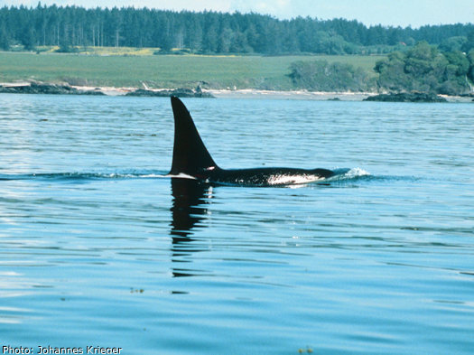 Orca whales as seen from a whale watching tour off of San Juan Island