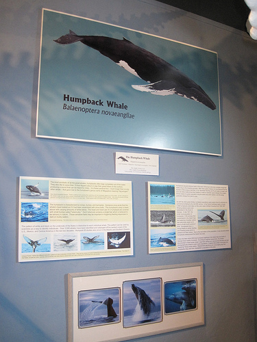 An exhibit at the Whale Museum, Friday Harbor Washington.